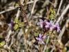 Family Plumbaginaceae IMG_7066