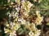Family Thymelaeceae IMG_7072