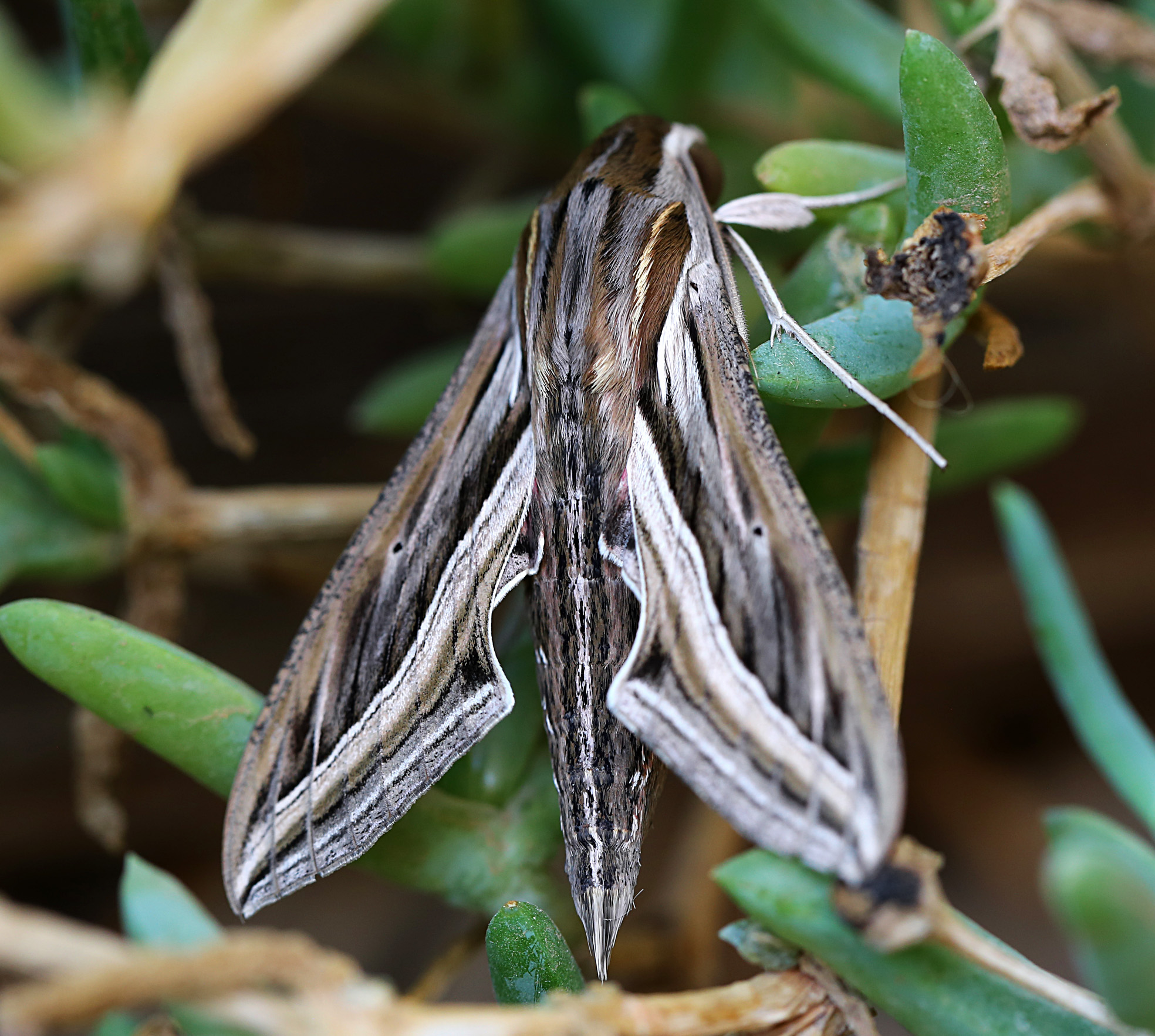 Moths of Morocco - 4 20160926_5587