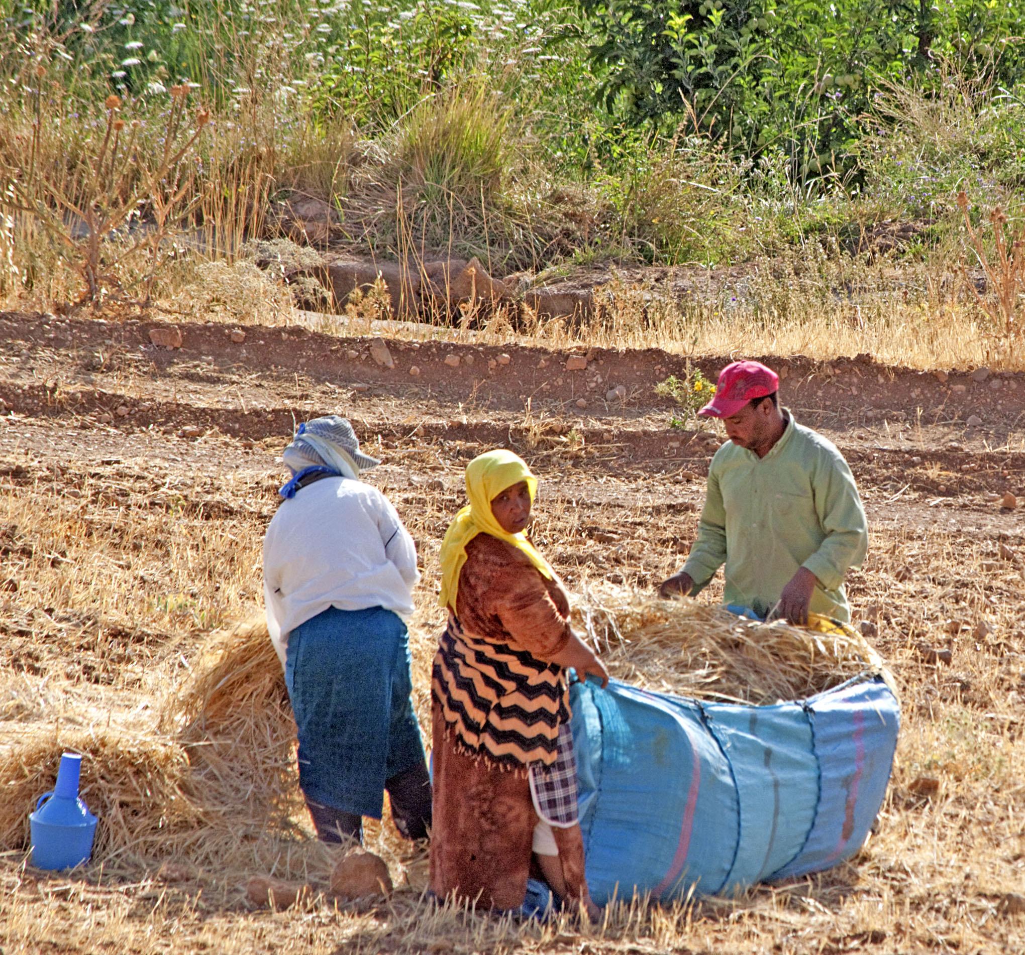 Harvesting: Produce - 2b Wheat Harvest