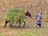 Harvesting: Food For Their Animals - 3