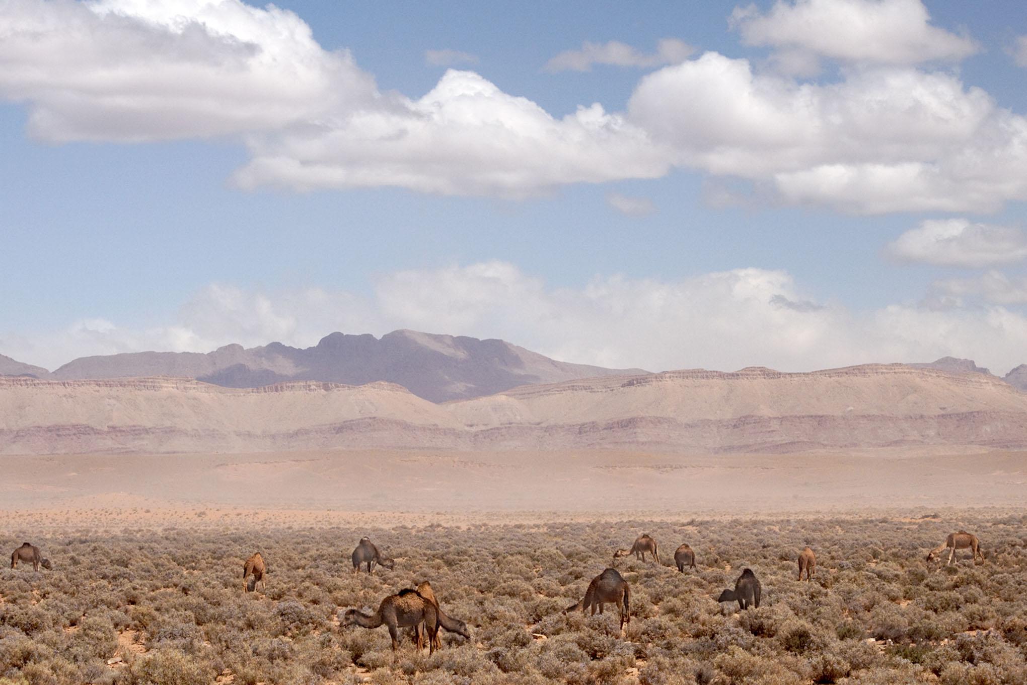 Camels - 1