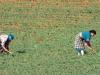 Planting & Cultivation - 5 DSC06615
