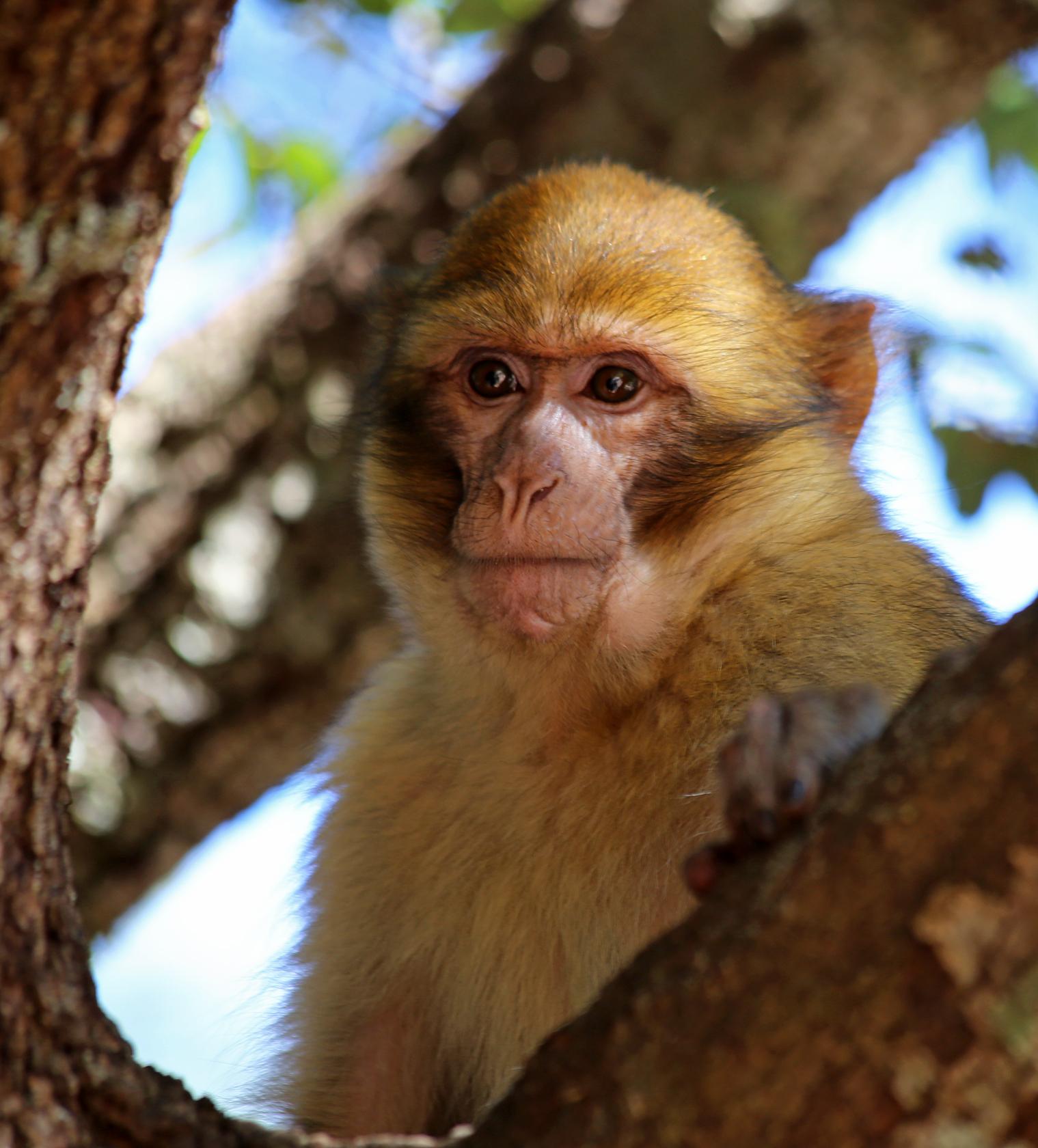 Barbary Macaque - 2