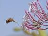 Bees of Morocco Family Xylocopa - 2bGall1bBee at Jasmin 2
