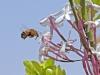Bees of Morocco Family Xylocopa - 2aGall1bBee at Jasmin 3