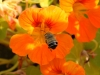 Bees of Morocco Family Xylocopa - 2cGall1bIMG_8290