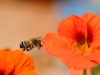 Bees of Morocco Family Xylocopa - 2fGall1bIMG_9029