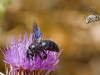Bees of Morocco Family Xylocopa - 5a