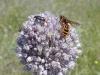 Golden Orange Bee on Allium