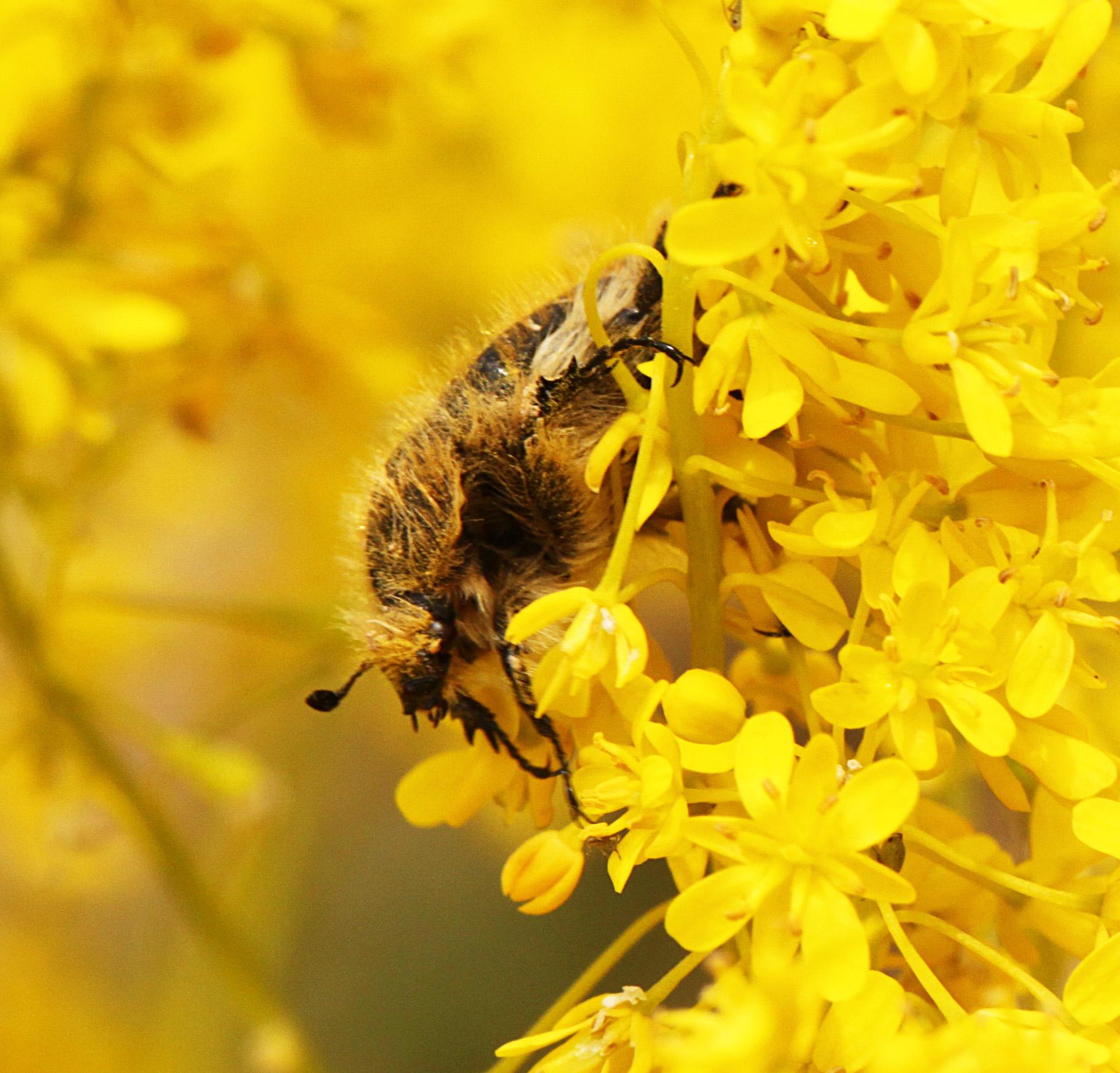 Beetle - 10b IMG_8511