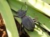 Scarab?Beetle - 12 IMG_8311