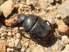 Beetle - 11 IMG_8360
