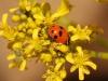 LadyBeetle - 8 IMG_8509