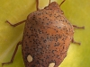 Insects: Order Hemiptera - 3