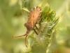 Insects: Order Hempitera - 6 IMG_8675