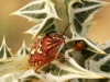 Insects: Order Hempitera - 7 IMG_8775