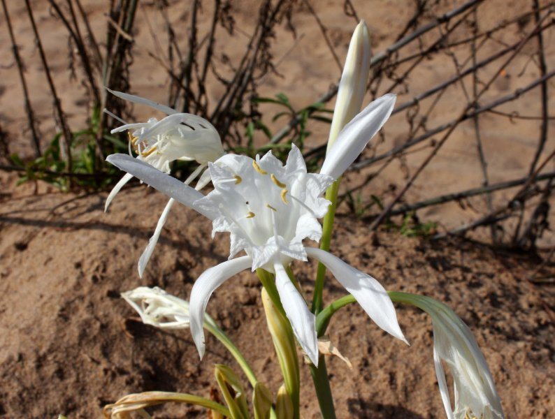Bulb Plants of Morocco - 12a