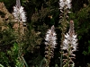 Bulb Plants of Morocco - 10b