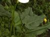 Bulb Plants of Morocco - 6