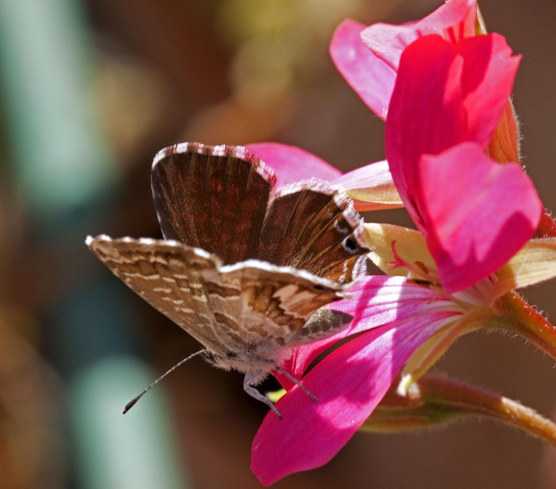 Butterflies - 12