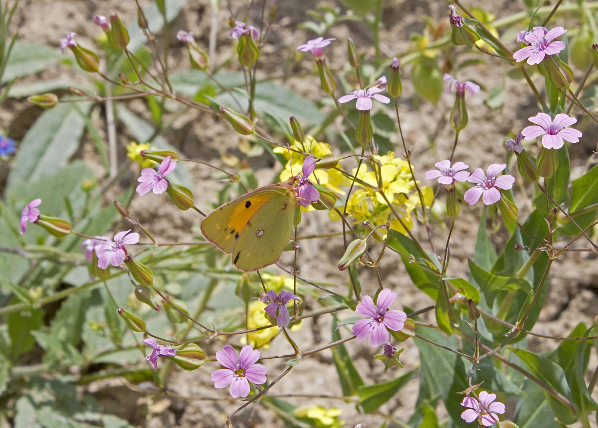 Butterflies - 3