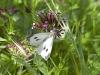 Butterflies - 8