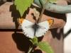 Butterflies - 4