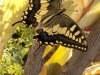 Swallowtail Butterfly 2