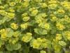 Euphorbiaceae Family - 2