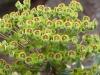 Euphorbiaceae Family - 1