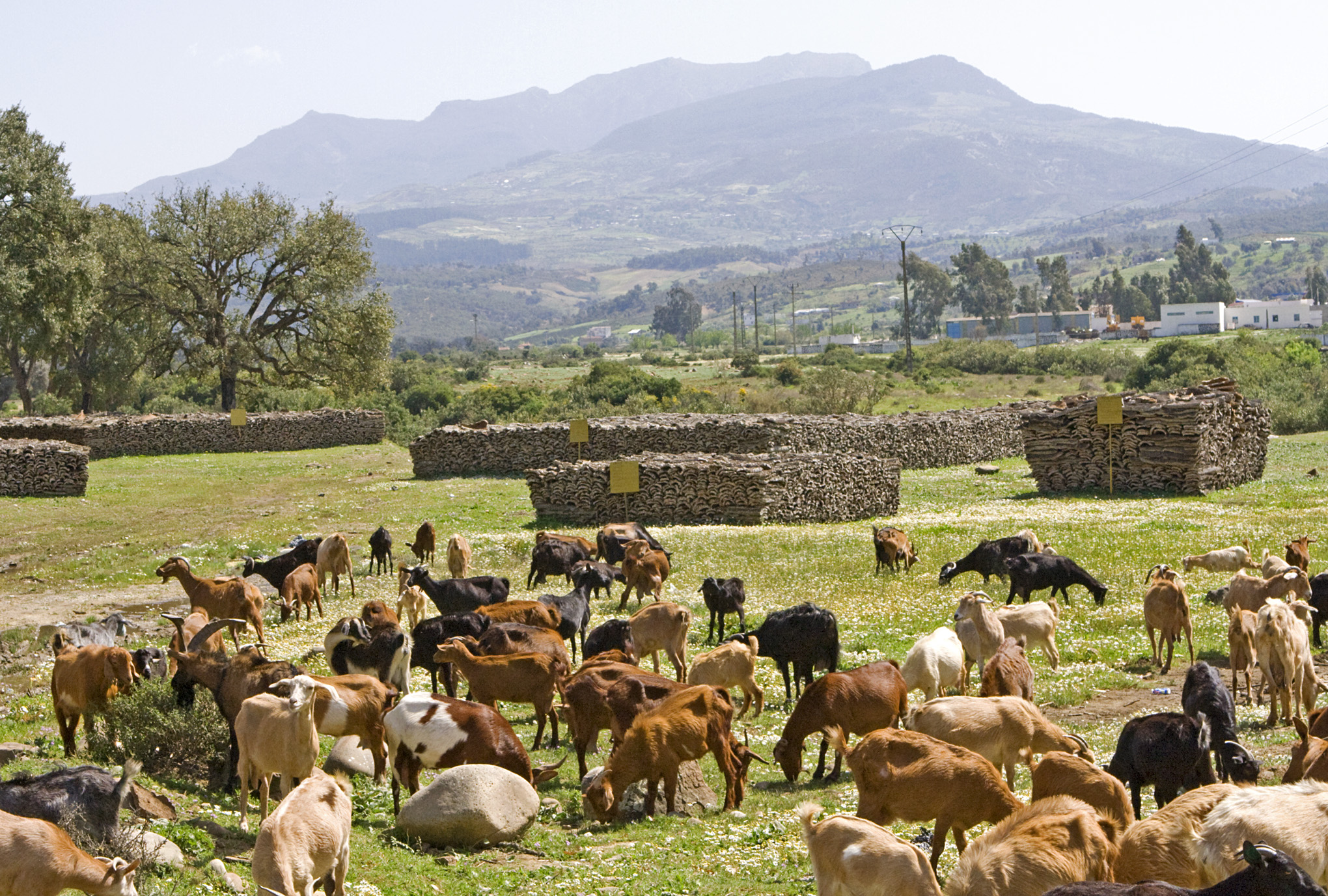 Farm Animal Portraits: Goats - 2