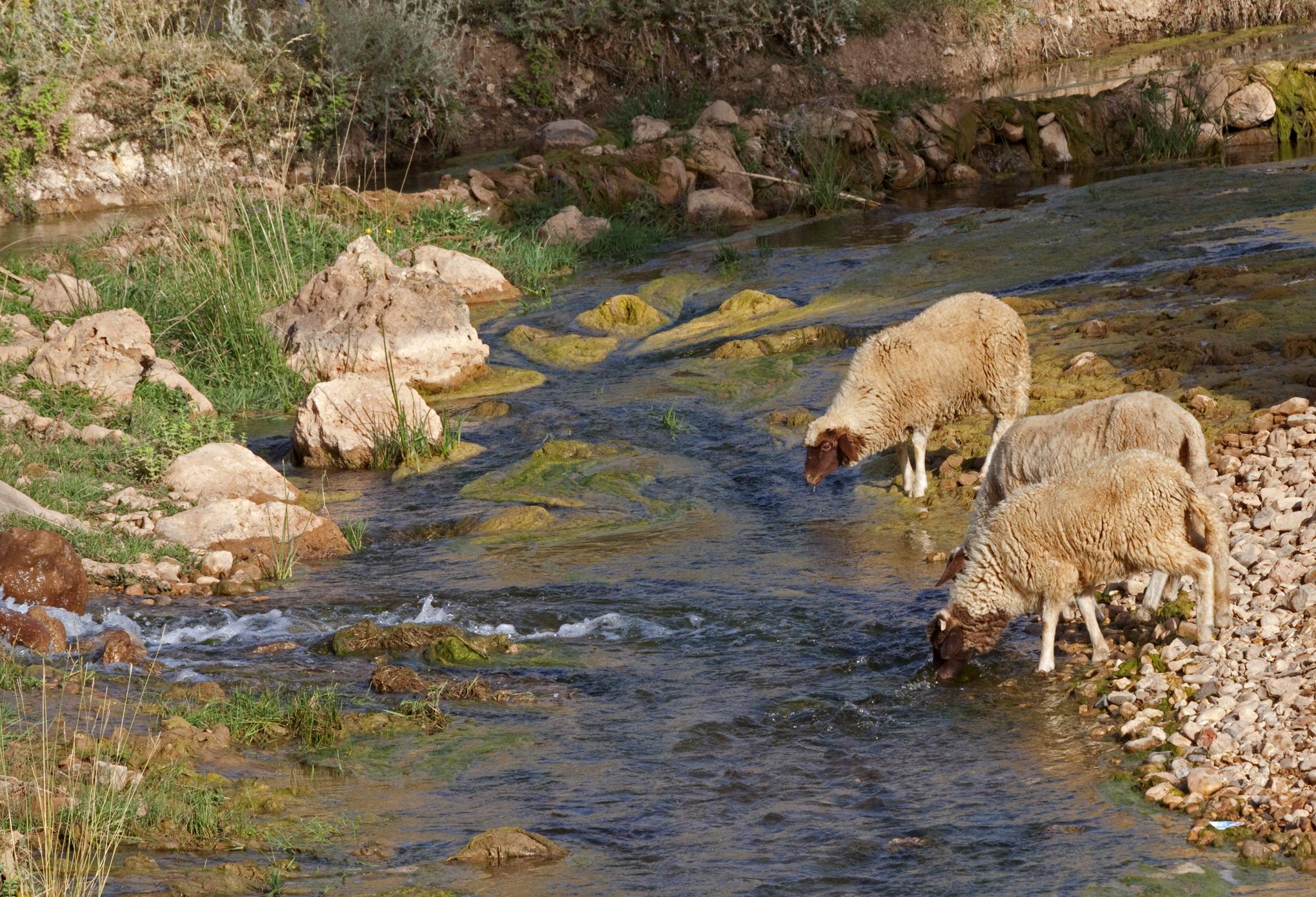 Farm Animal Portraits: Sheep - 4