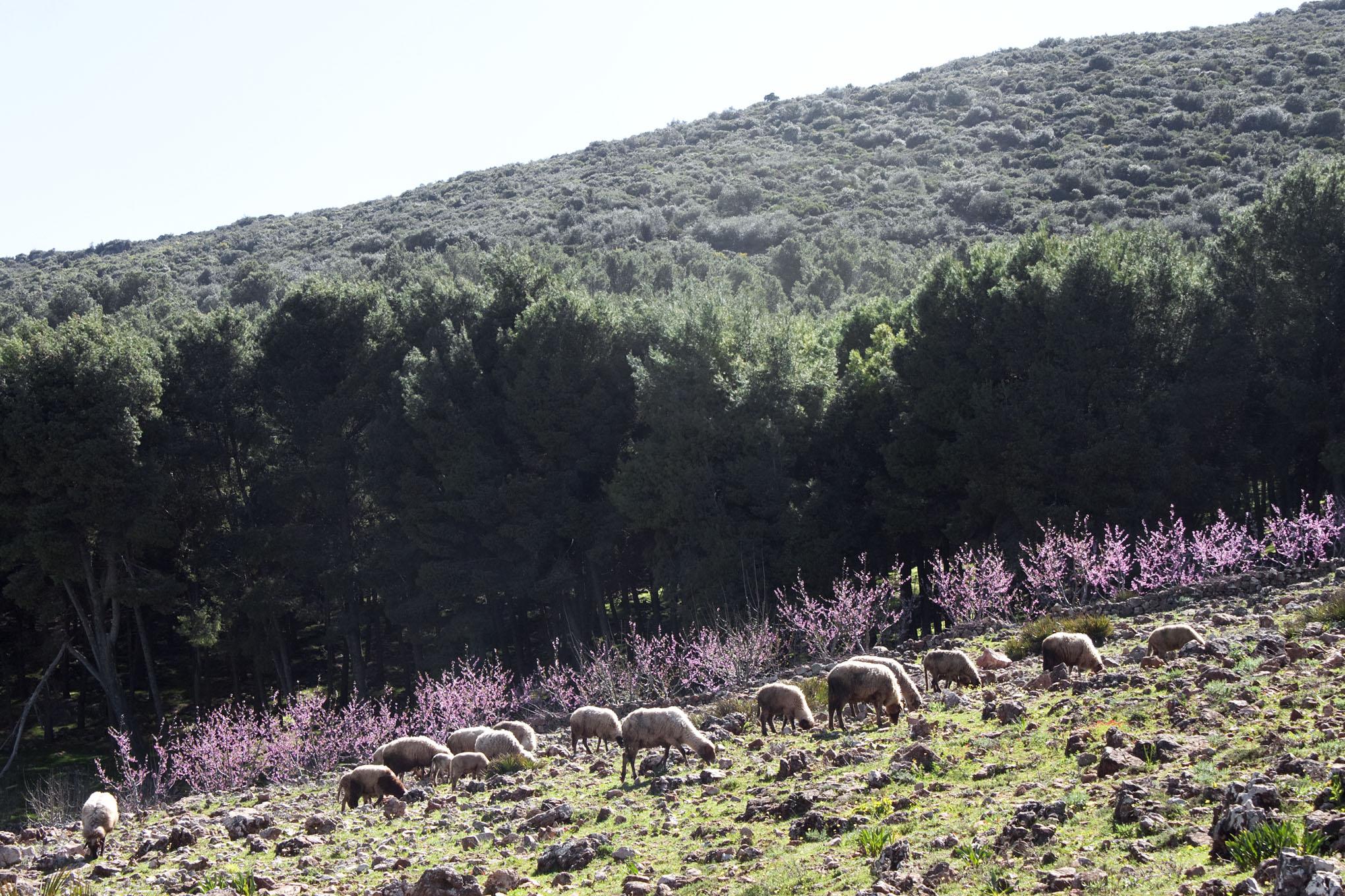 Farm Animal Portraits: Sheep - 2