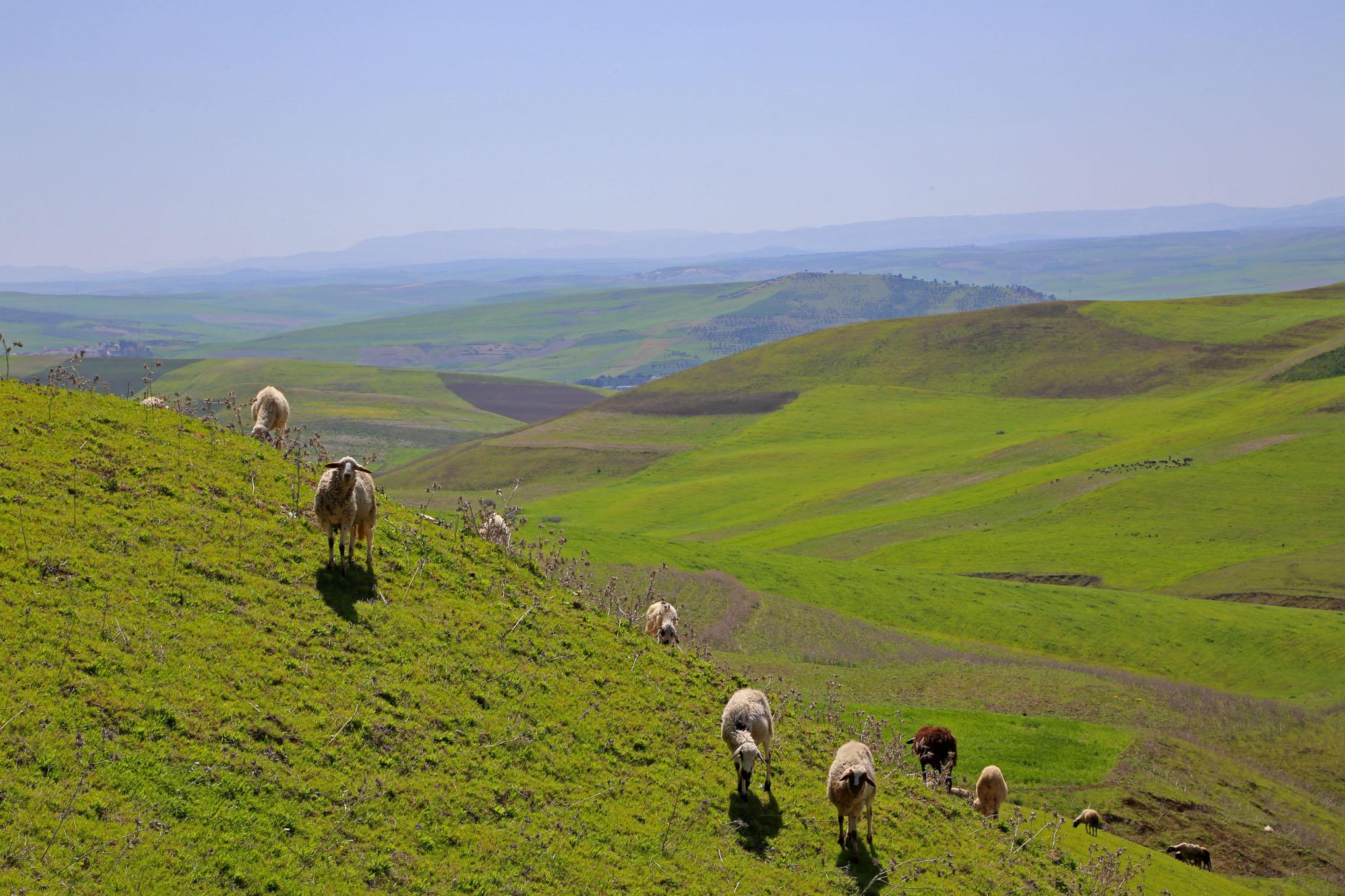 Farm Animal Portraits: Sheep - 3