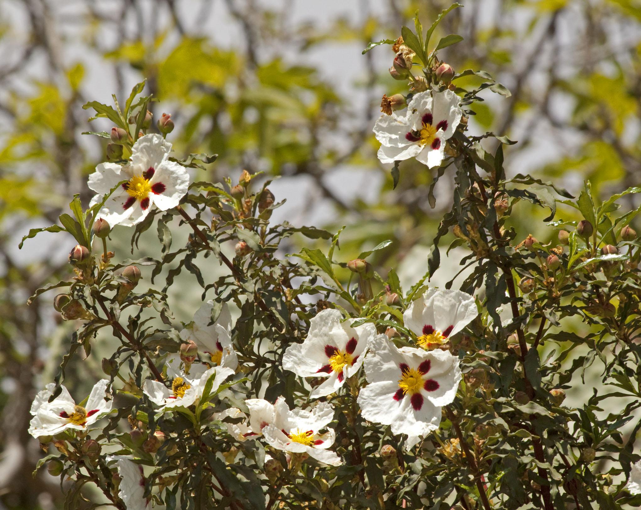 Family Cistaceae - 1b