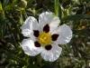 Family Cistaceae - 1a