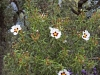 Family Cistaceae - 1c