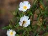 Family Cistaceae - 3