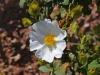 Family Cistaceae - 2b