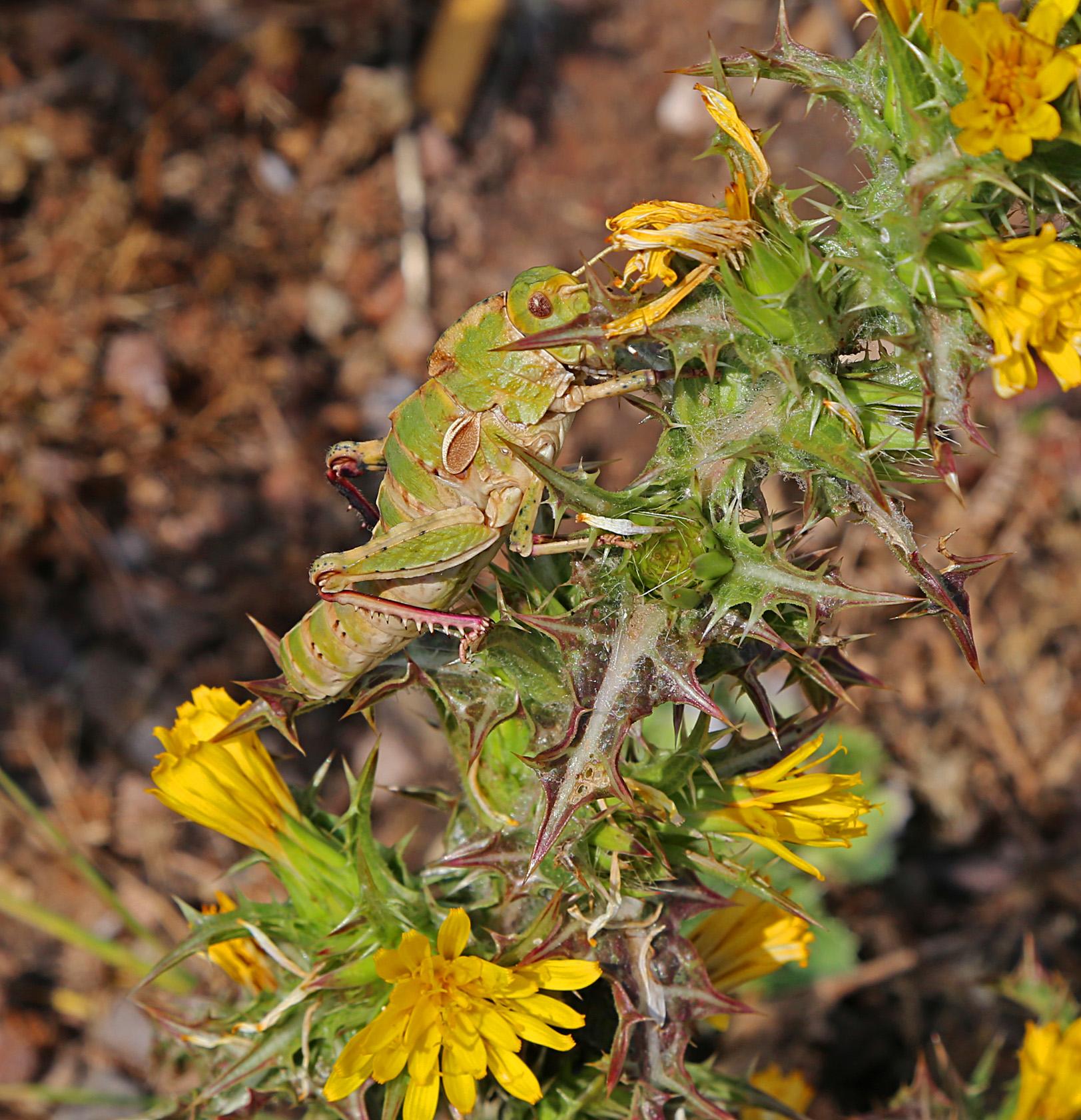 Orthoptera - 1 20150524_1946