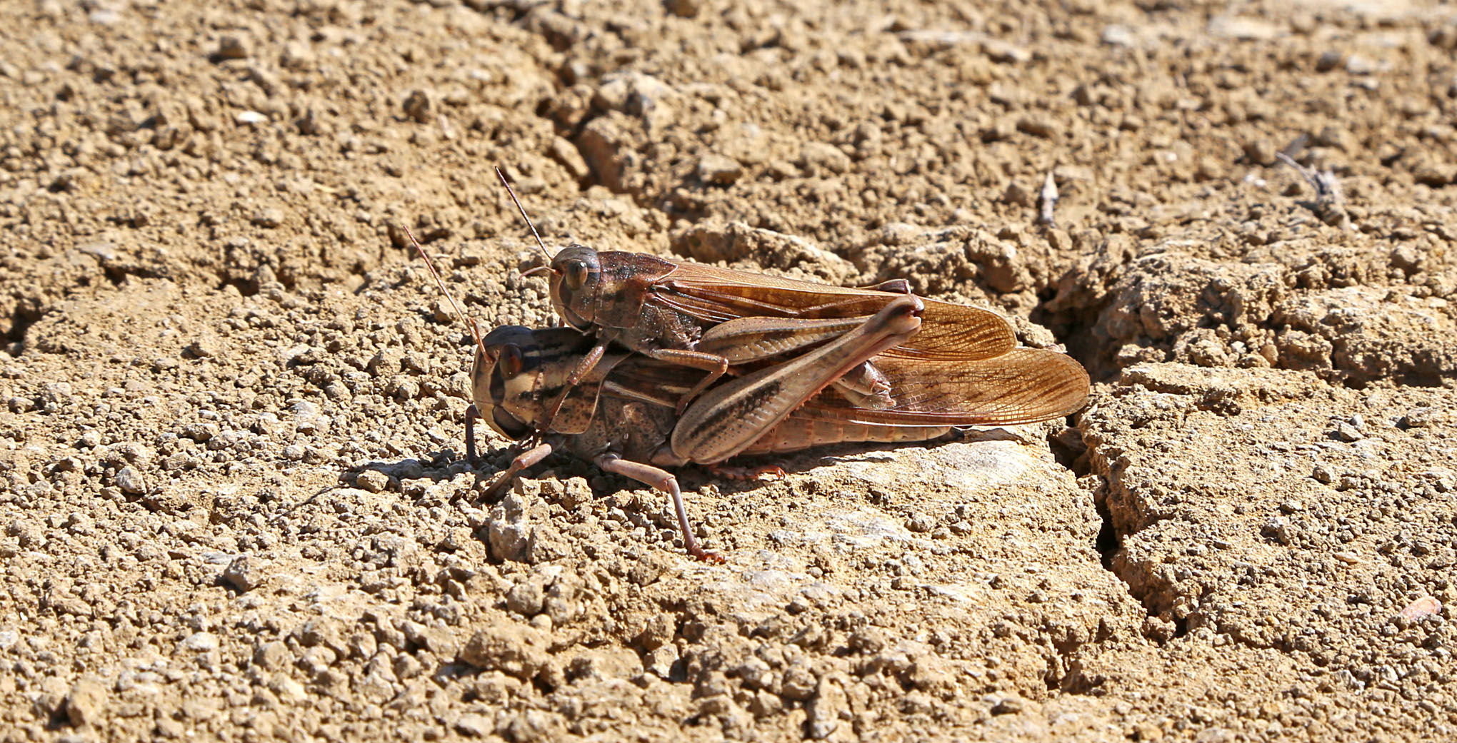 Orthoptera - 3 GrasshopperSex
