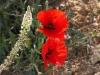 Papaveraceae - 2