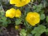 Family Ranunculacae (Buttercup) - 1