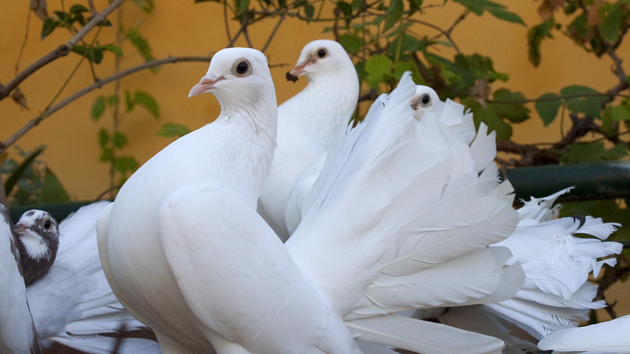 Fancy Pigeons 2