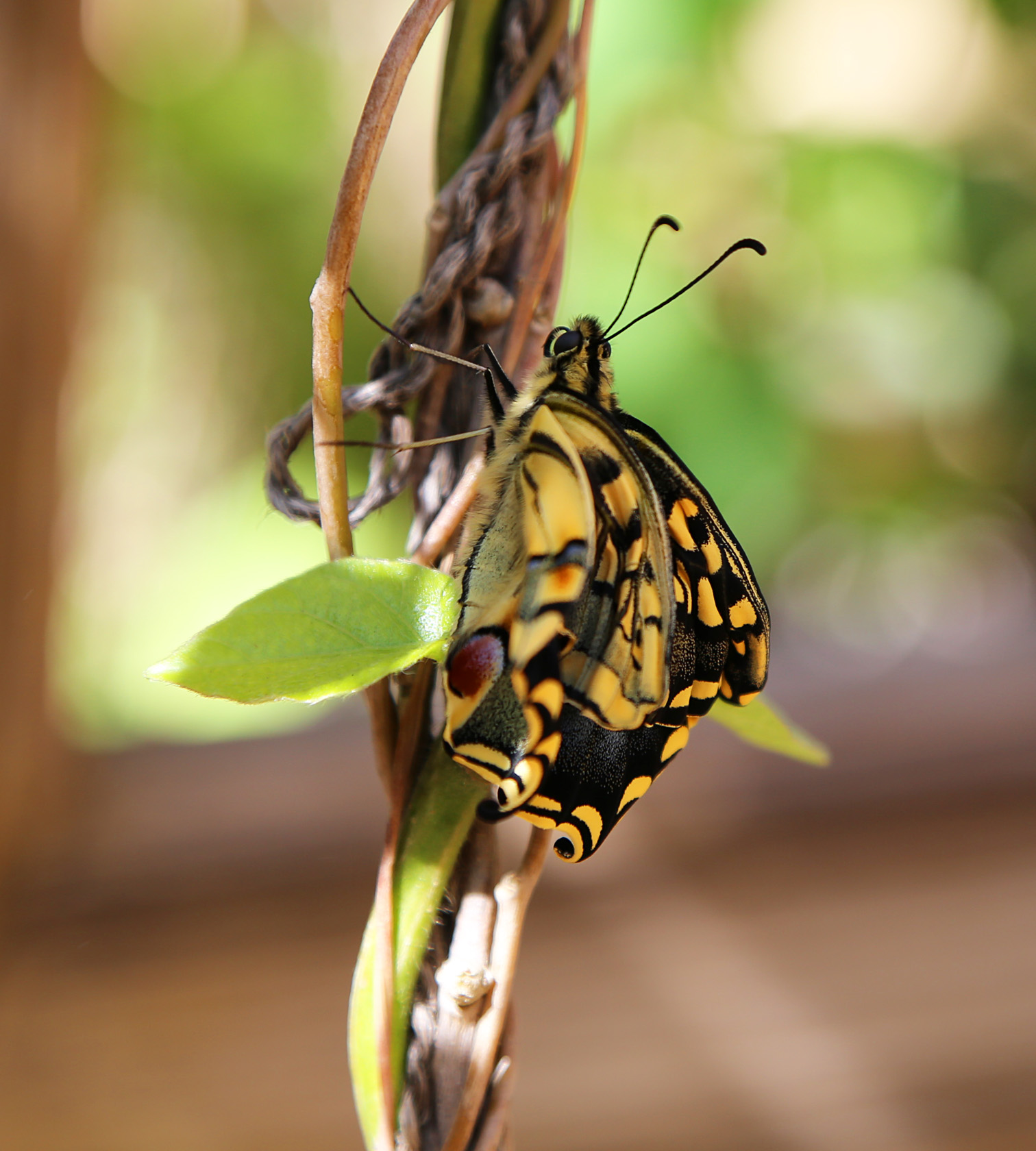 Swallowtails - 1