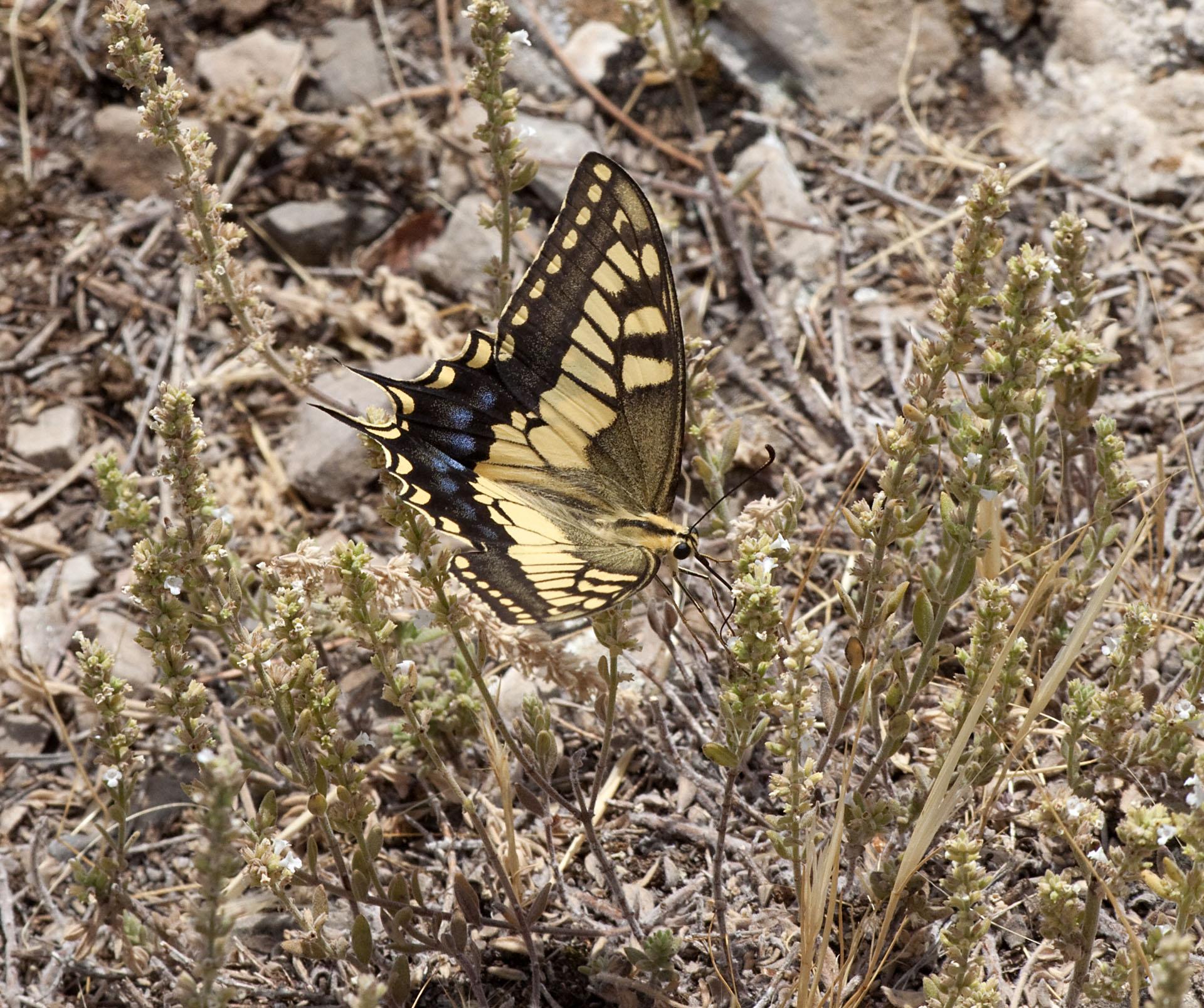 Swallowtail - 3