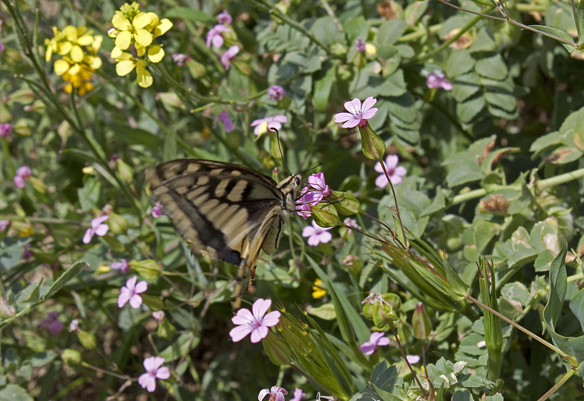 Swallowtail - 7