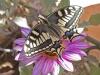 Swallowtail - 5