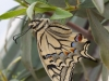 Swallowtail - 4